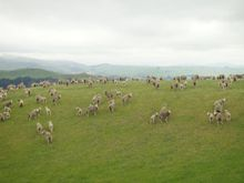 101120_sheep